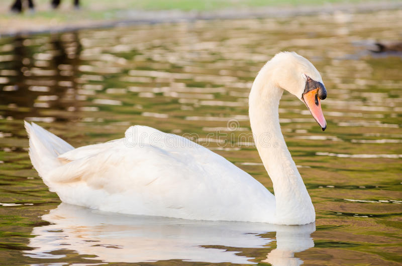 Swan. A swan is floating in the water royalty free stock photography
