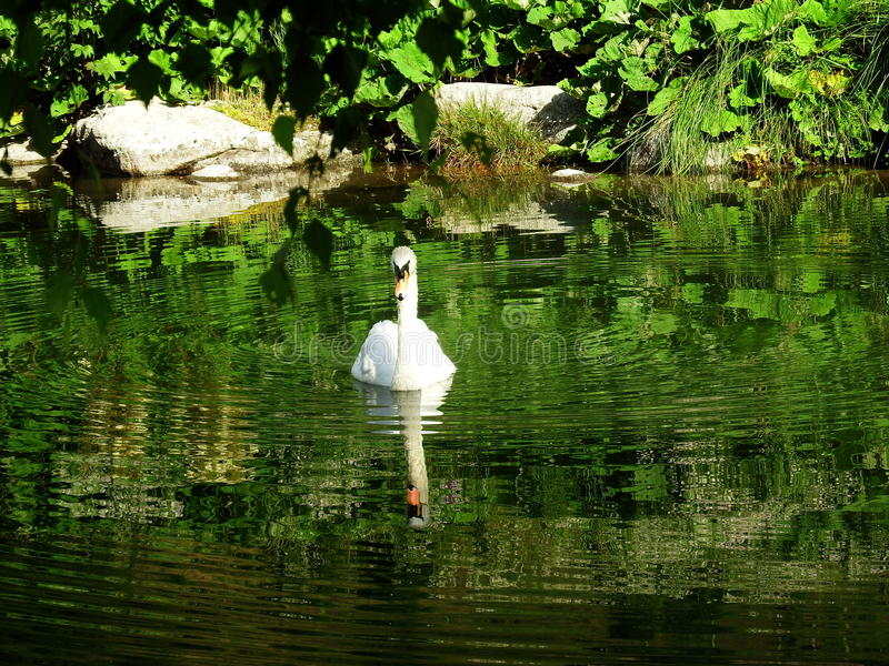 Swan in water royalty free stock photography