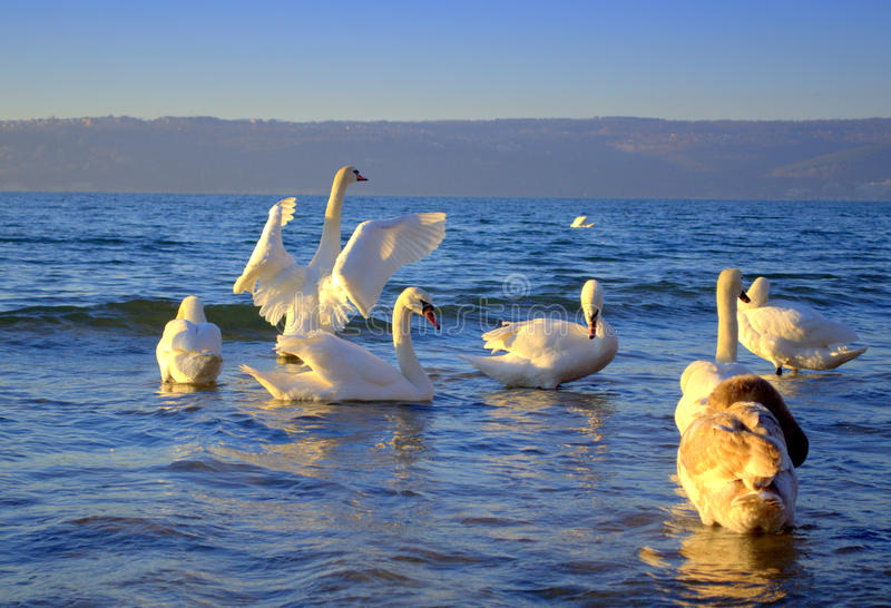 Swan waving wings among the flock. Photo taken on the Black sea coast, Varna bay on February,2013 just after sunrise and one swan waving his wings as if welcomed royalty free stock photo