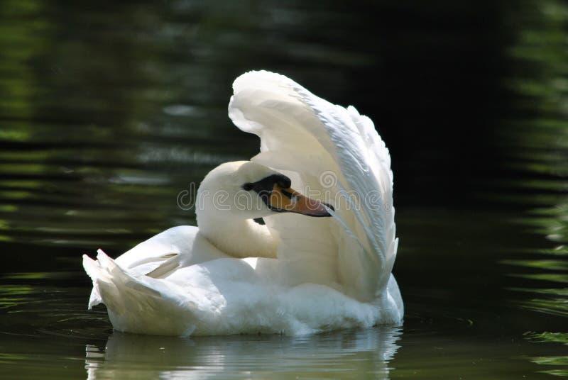 The swan royalty free stock photos