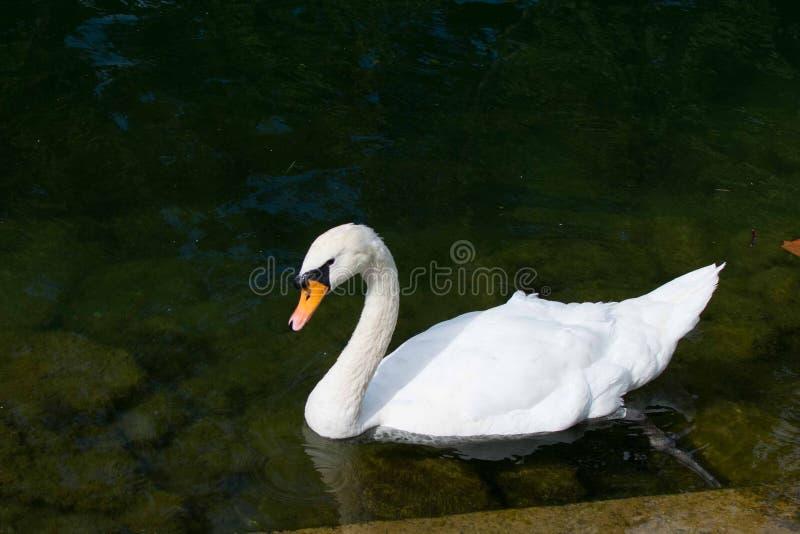 White Swan In Strasbourg stock image