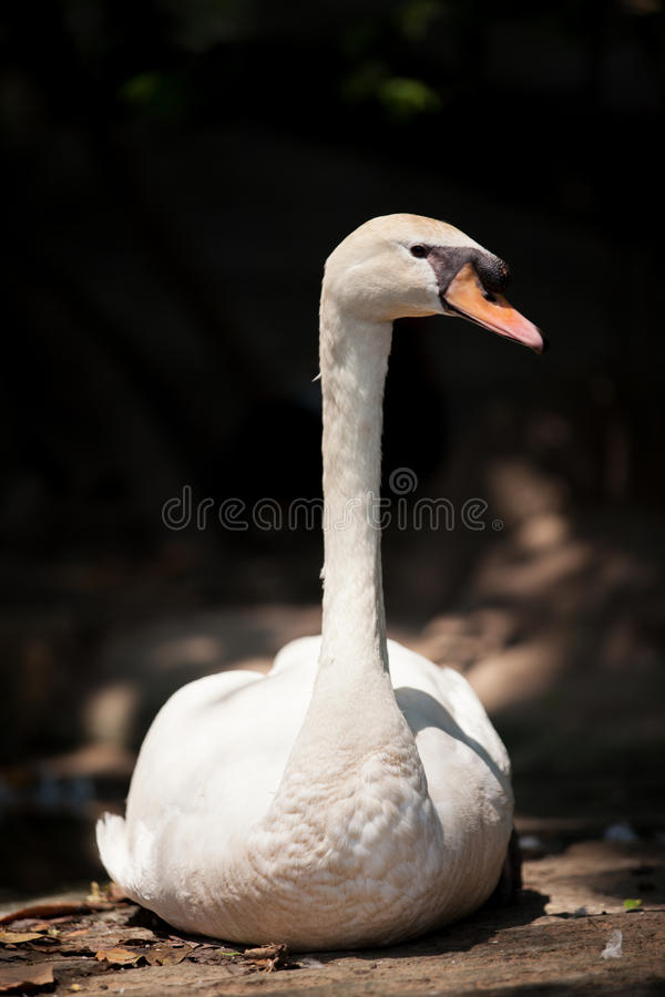 Download Swan stock image. Image of nature, birds, head, geese - 39696837