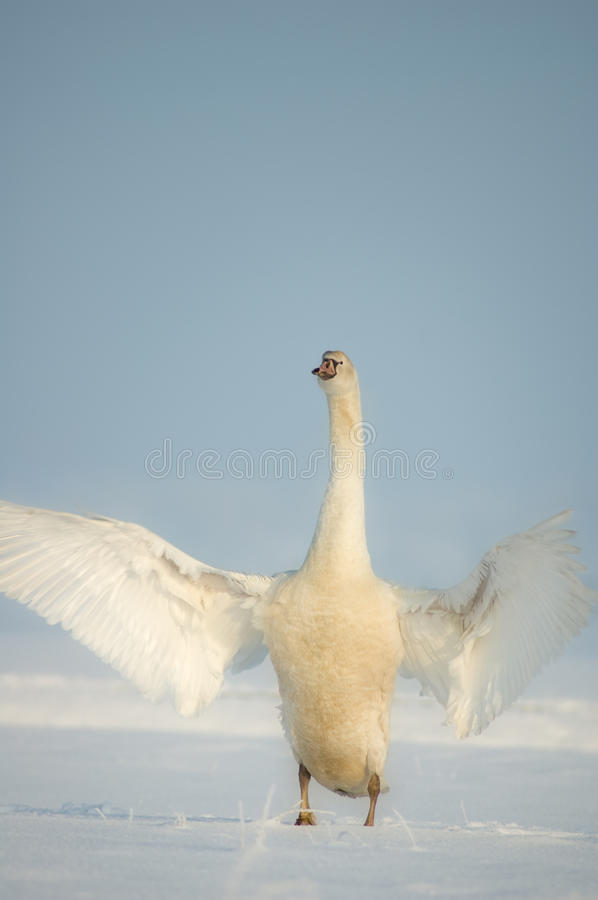 Download Swan Wings in Snow stock image. Image of beautiful, flapping - 12425517