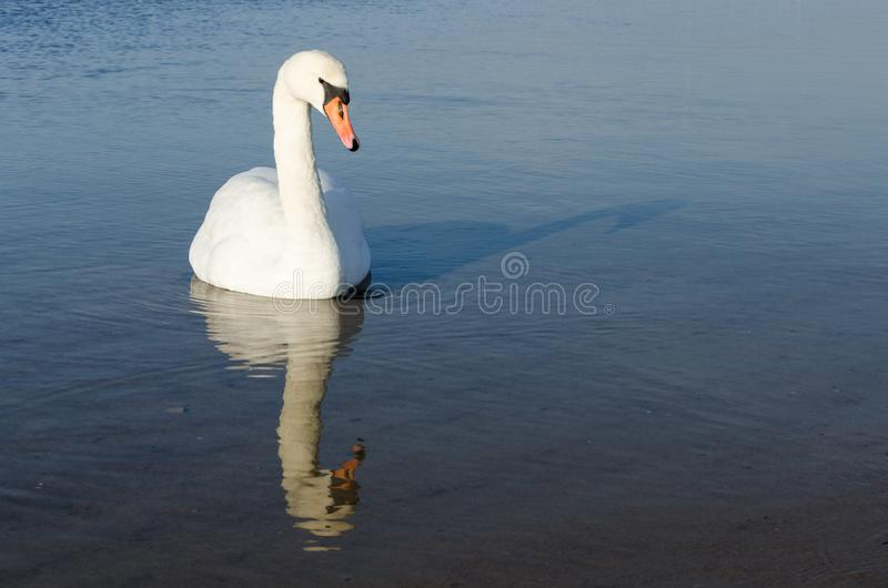 Swan during the winter season. On the Baltic Sea royalty free stock photo