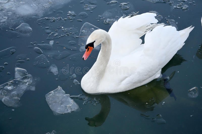 Swan in winter time stock images