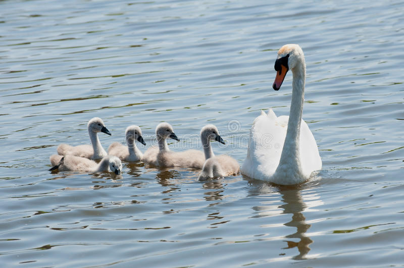 Download Swan with youngsters stock photo. Image of calm, river - 11511072