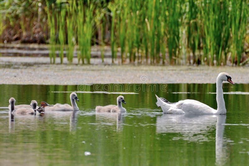 Swan in Danube Delta royalty free stock photos