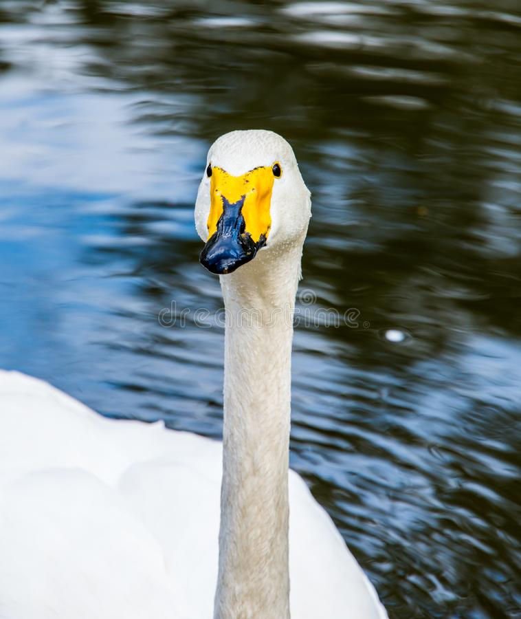 Swan in the zoo portrait. Swans are birds of the family Anatidae within the genus Cygnus. The swans` closest relatives include the geese and ducks. Swans are royalty free stock photography