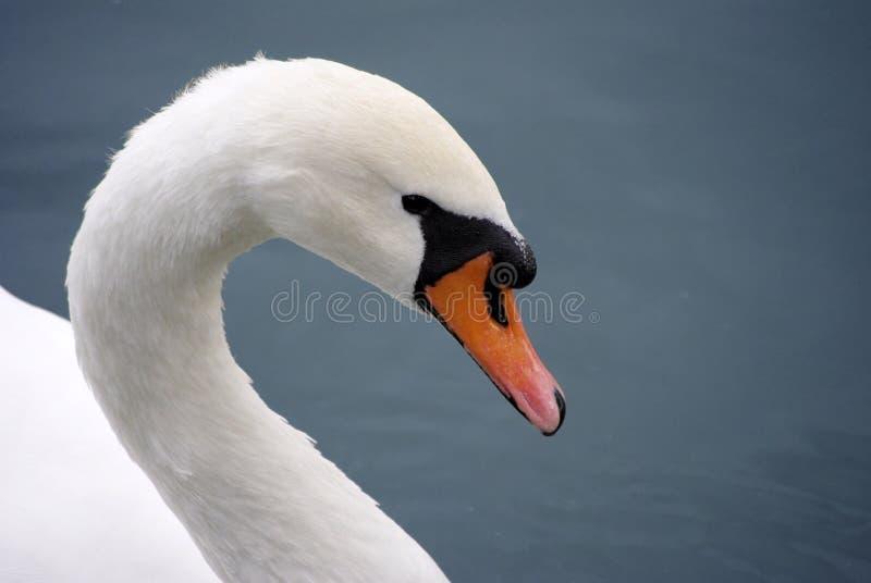 Swan2 fotografie stock