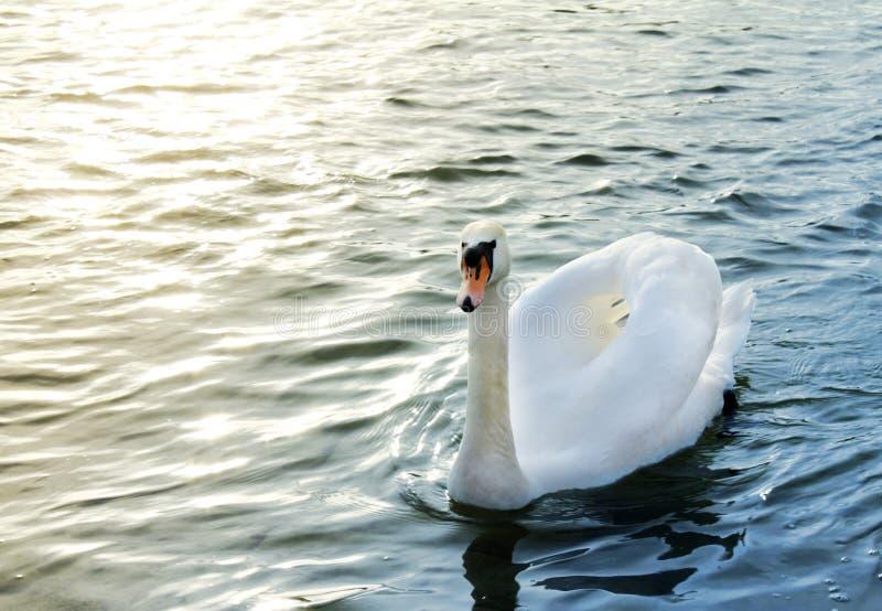 Swanen bevattnar på royaltyfri fotografi