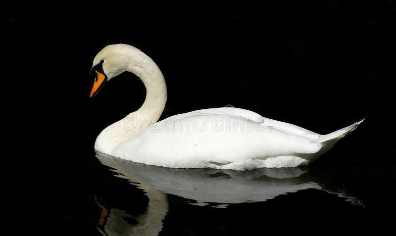 Sväva swan fotografering för bildbyråer