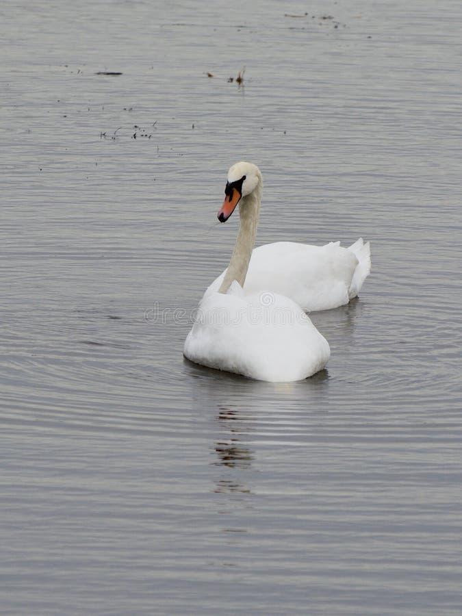 Swanlake obraz stock