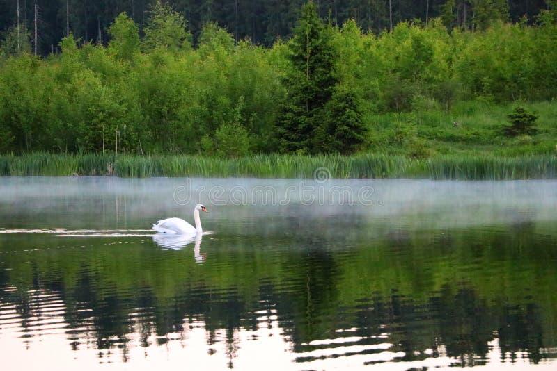 Swanlake zdjęcie royalty free