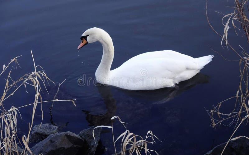 Swanlake photos stock