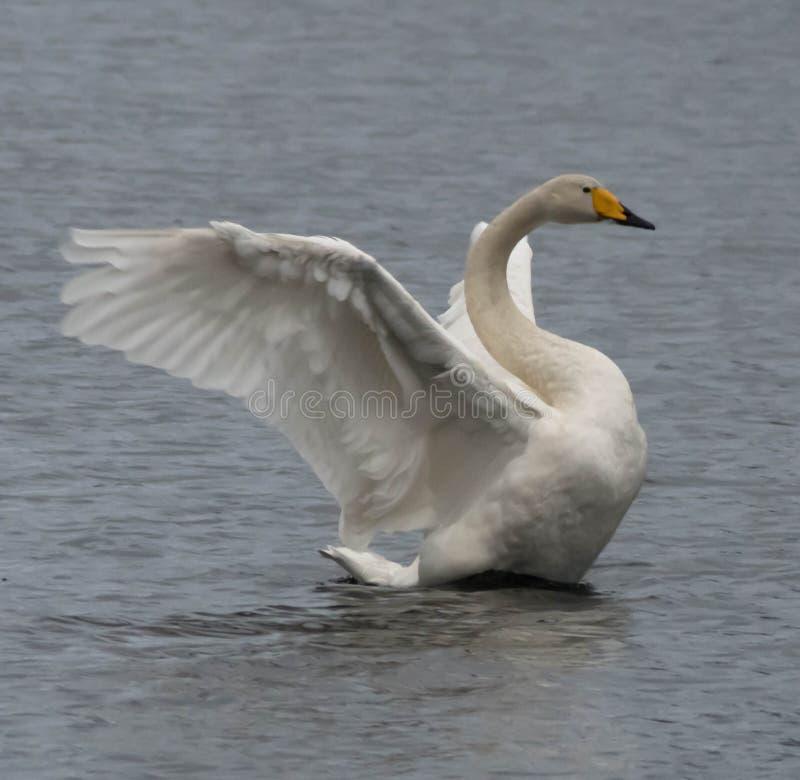 Swanlake, istoty natura, ptaki obraz royalty free