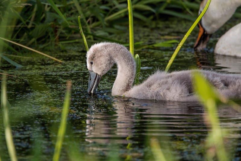 Swanling Cygnet Stummer Schwan lizenzfreie stockbilder
