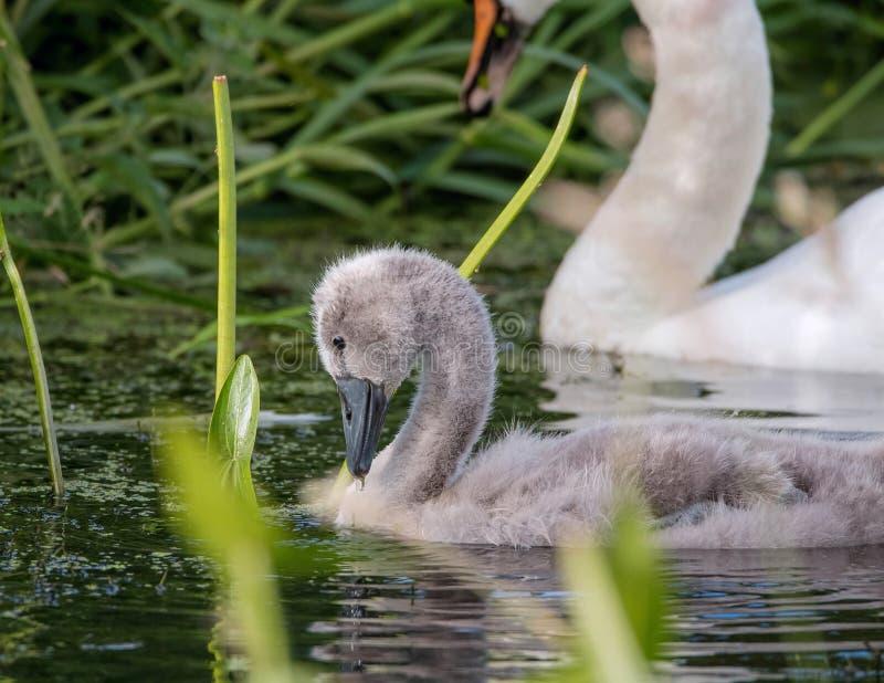 Swanling Cygnet Stummer Schwan stockbilder