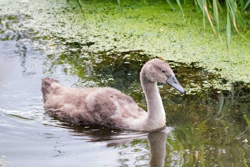 Swanling Cygnet Stummer Schwan lizenzfreie stockfotos