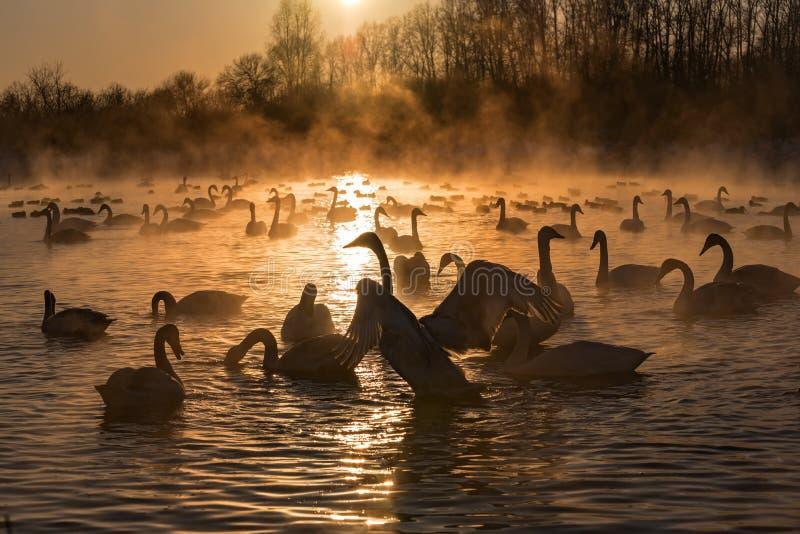 Swans湖薄雾冬天日落 免版税库存图片