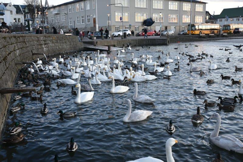 Swans湖Tjornin雷克雅未克,冰岛 免版税库存图片