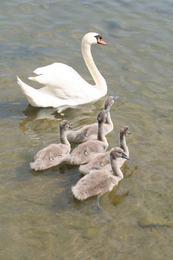 Free Swans Stock Image - 10237741