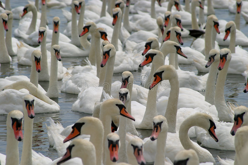 Download Swans stock image. Image of swan, swanned, cygnets, mute - 12439