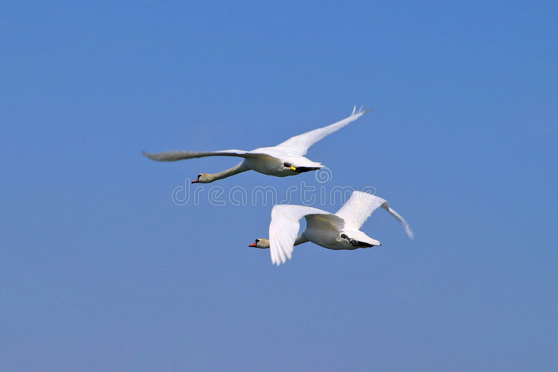 Download Swans stock image. Image of animals, long, bird, swan, water - 15595