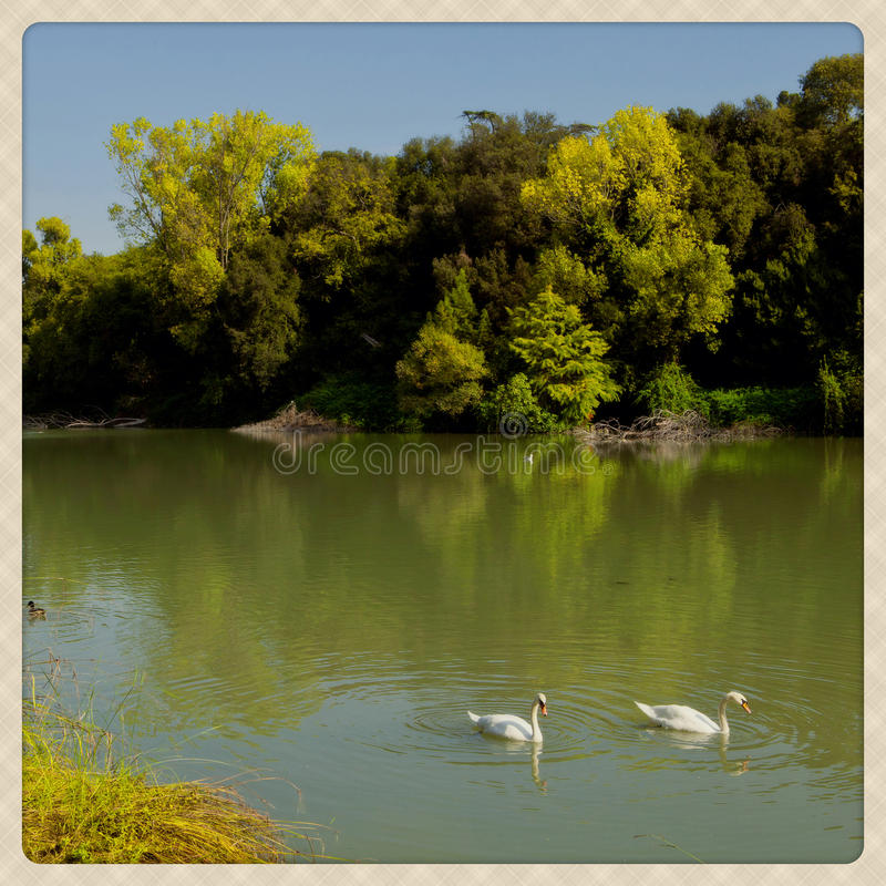 Swans. Shoot of a swans couple taken with a mobile phone camera effect