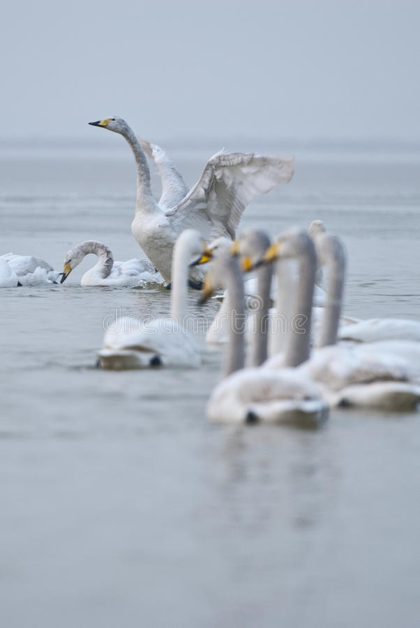 Download Swans Stock Photography - Image: 28929662