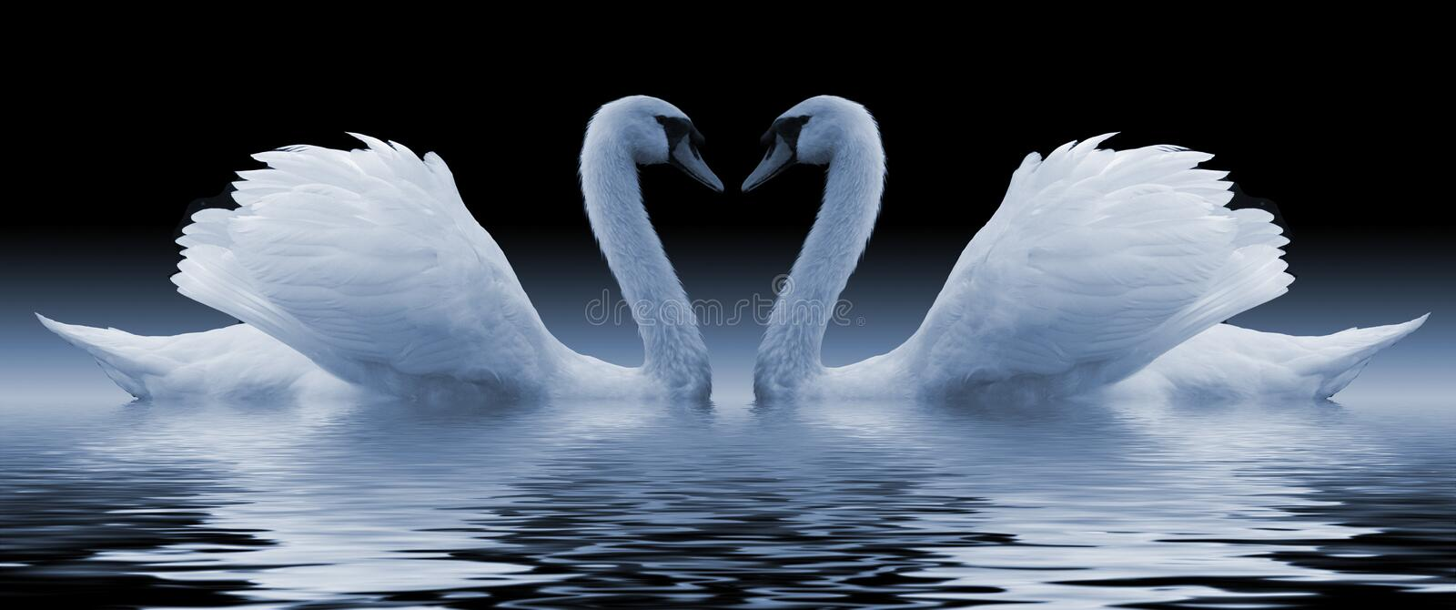 Swans. Loving swans forming a heart