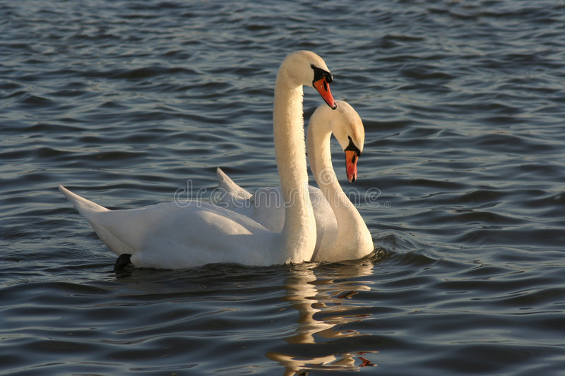 Download Swans stock image. Image of couple, family, emotion, reflections - 4427263