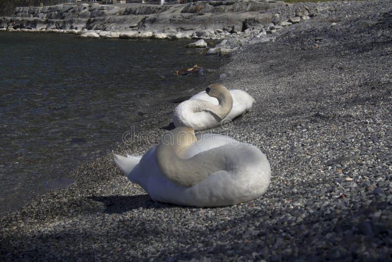 swans fotografia stock