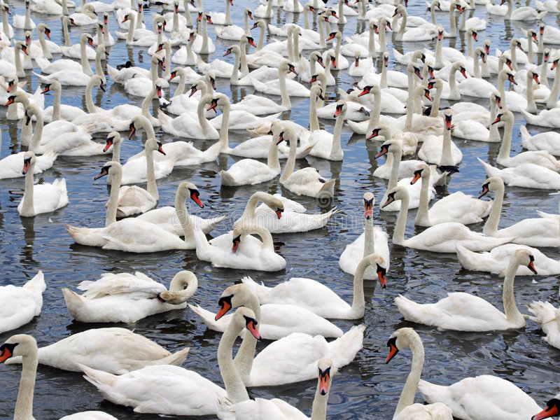 Swans. At a swannery gathering just before feeding time. This swannery is at Abbotsbury in Dorset, England royalty free stock photography