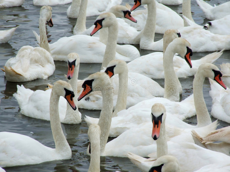 Swans. At a swannery gathering just before feeding time. This swannery is at Abbotsbury in Dorset, England stock images