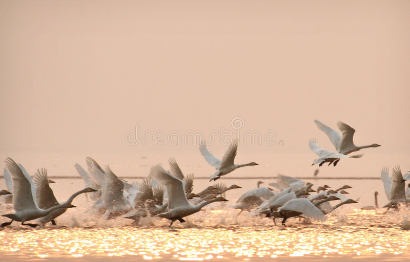 Swans. Many swans are flying freely royalty free stock photo