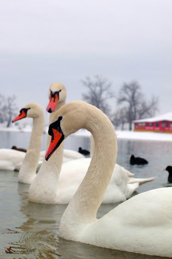 Free Swans Stock Photos - 625023