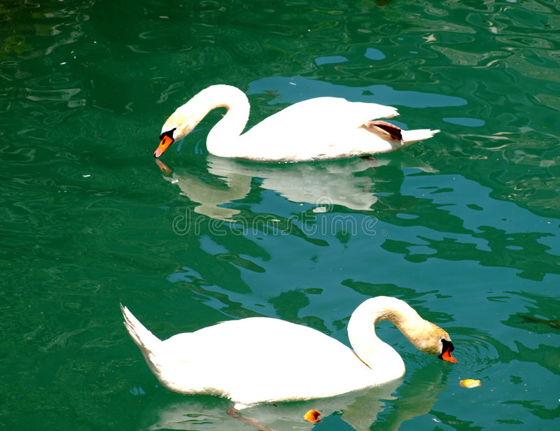 Swans royalty free stock photos