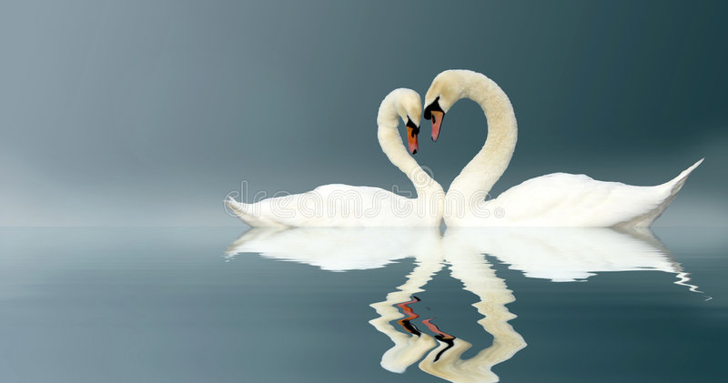 Swans. Two swans touching head to head forming a heart shape