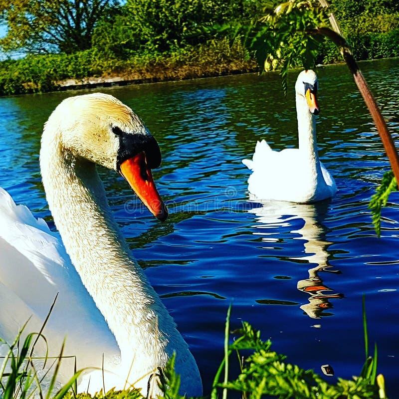 Swans1 στοκ φωτογραφία με δικαίωμα ελεύθερης χρήσης