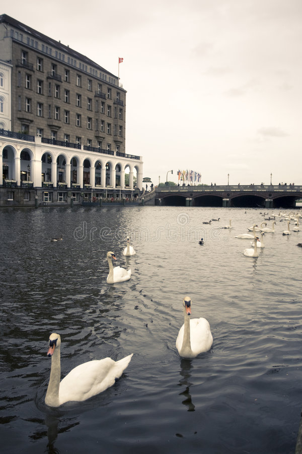 Download Swans On An Alster Canal, Hamburg Stock Photo - Image: 5331358