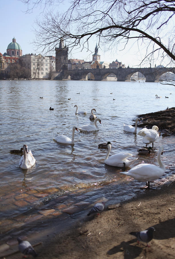 Swans On Background Of Charles Bridge In Prague Stock Photos