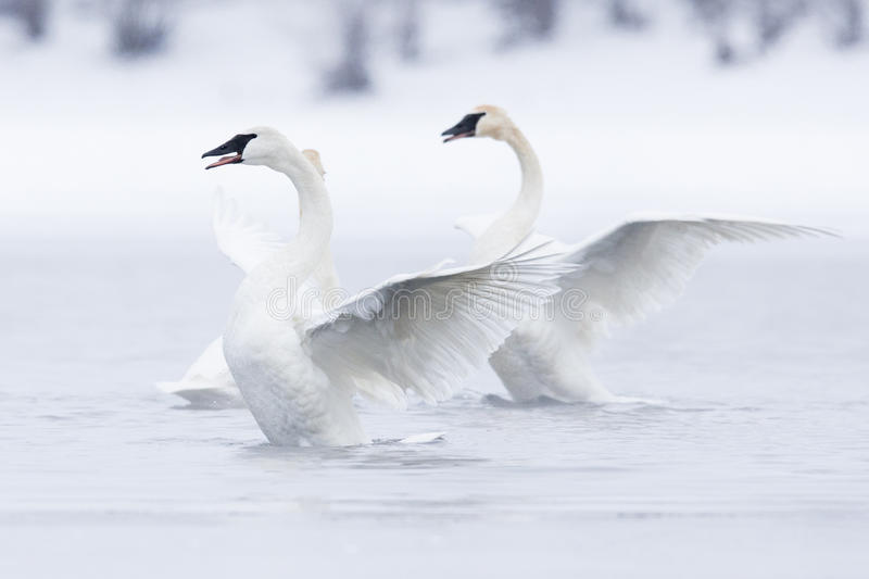 Swans in ballet on water stock photography
