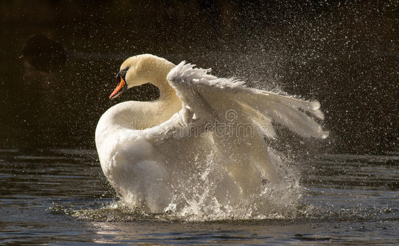 Swans Bath time stock image