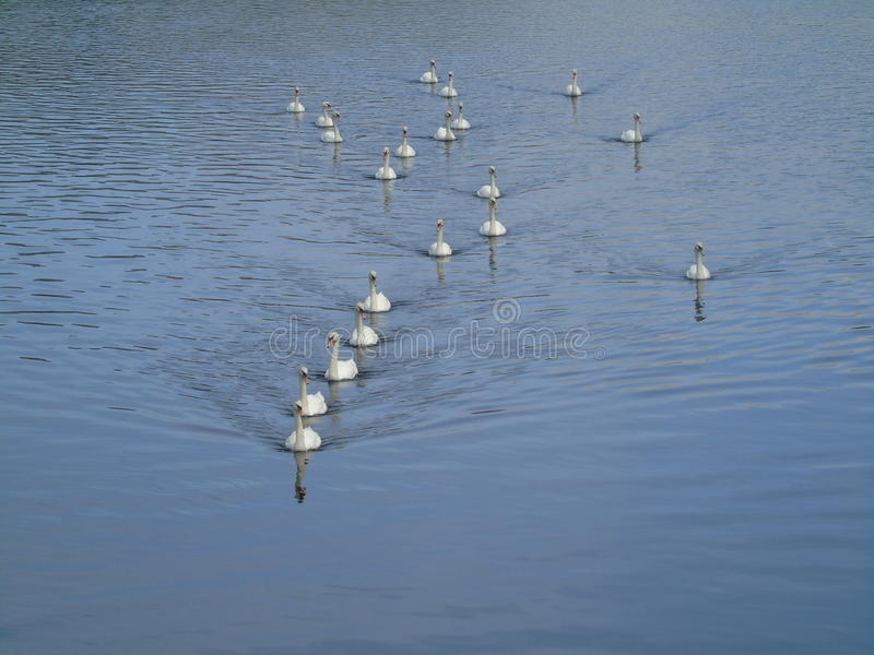 Swans in battleship formation royalty free stock photography