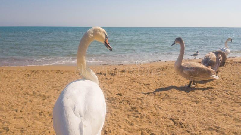 .Swans on the beach in Evpatoria, Crimea.  stock photo
