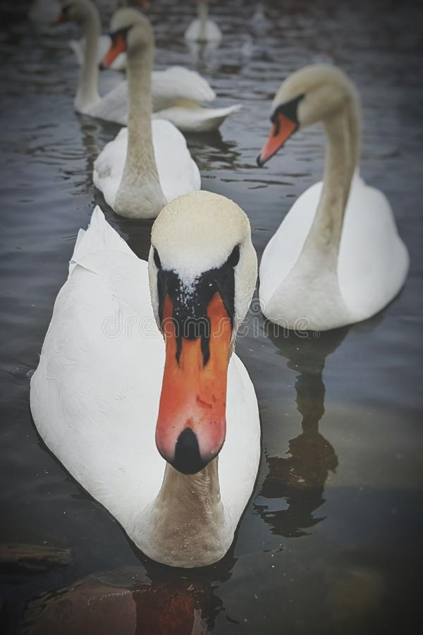 Download Swans Stock Photo - Image: 83700139