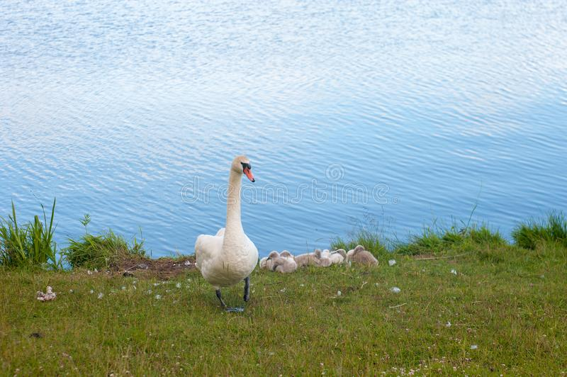 Swans are birds of the family Anatidae within genus Cygnus. The swans close relatives include geese and ducks. Swans with closely. Related geese in subfamily royalty free stock photo