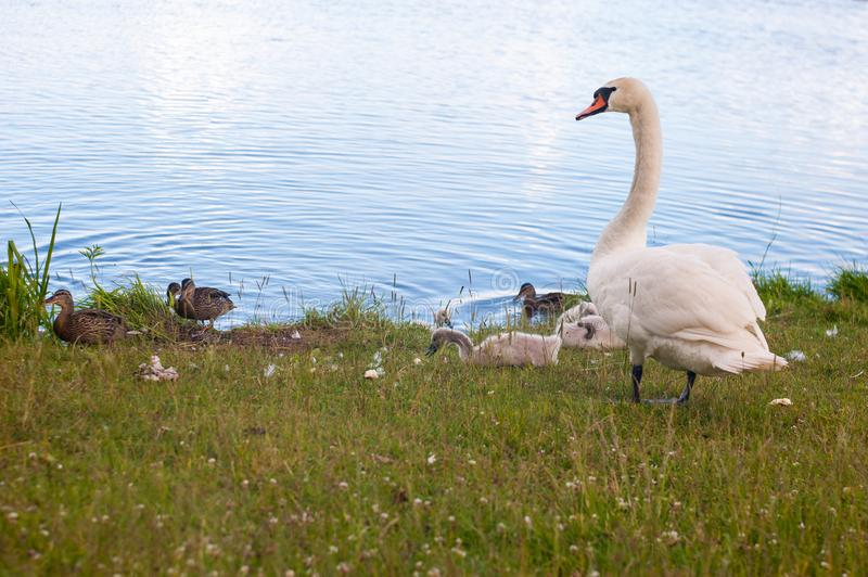 Swans are birds of the family Anatidae within genus Cygnus. The swans close relatives include geese and ducks. Swans with closely. Related geese in subfamily stock photography