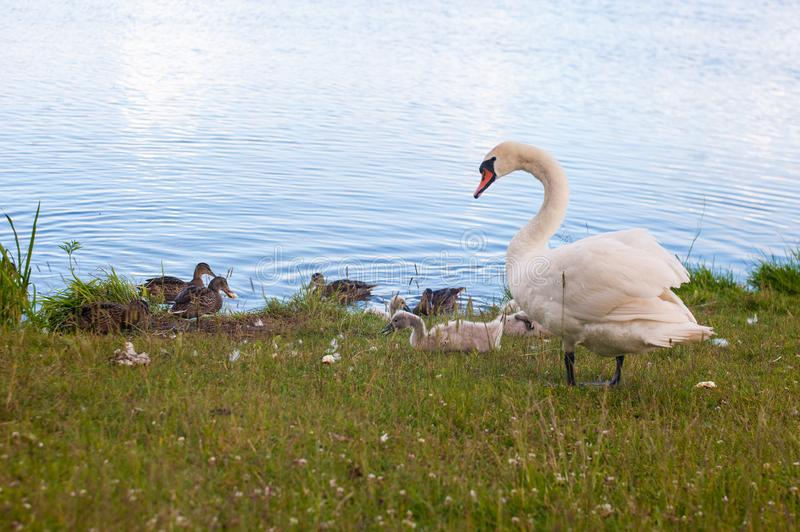 Swans are birds of the family Anatidae within genus Cygnus. The swans close relatives include geese and ducks. Swans with closely. Related geese in subfamily royalty free stock photos