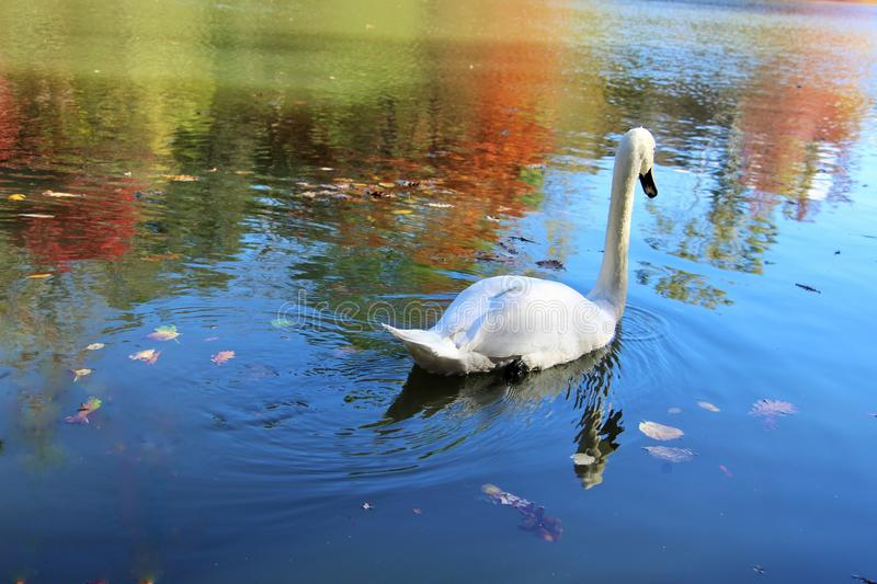 A swan among the reflections in the lake stock photography